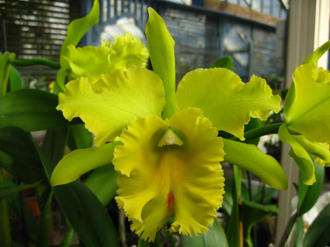Rhyncholaeliocattleya Kat Green Power
