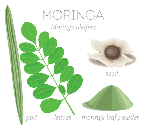 Pod, Seed, Powder, and leaves of Moringa oleifera
