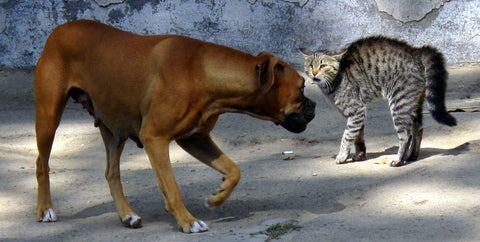 dog scaring outdoor cat