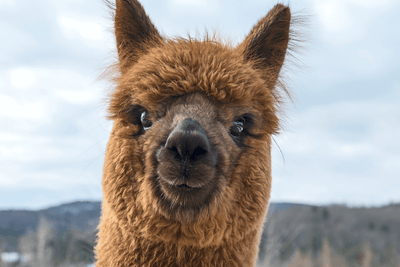 Alpaca Takes Centre Stage