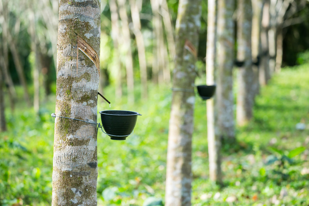 What Is Rubber Made Of >> Rubber Trees How Your Latex Mattress Is Made Resthouse