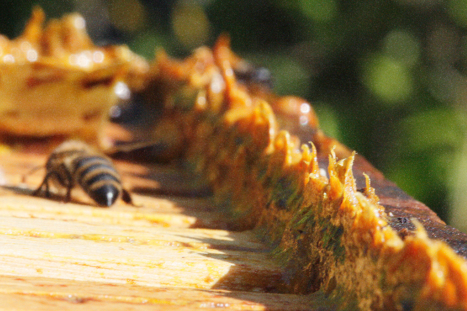 propolis on hive with bee nearby
