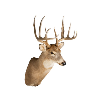Lodge Furnishings  deer, taxidermy, whitetail deer  Idaho Whitetail
