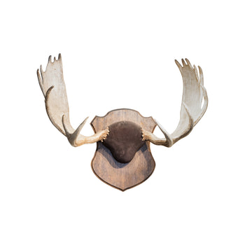 Lodge Furnishings  antler, moose, new item, shiras, taxidermy  Shiras Moose Antler Sheds