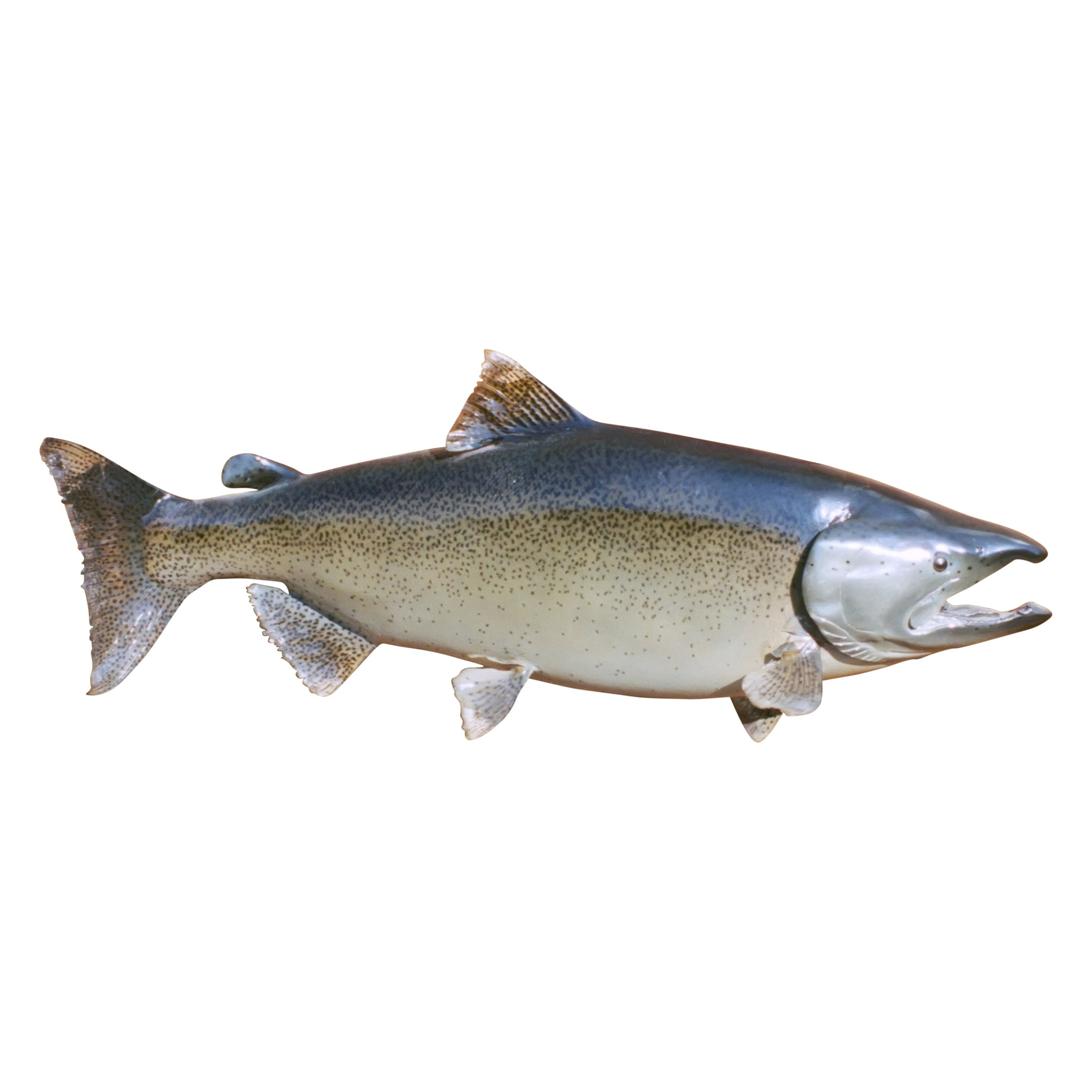 Lake Trout Mount fish, taxidermy
