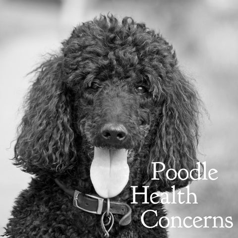 Labradoodles: Same Old Health Problems