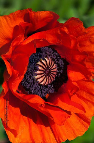 Silk Flora Workshops - Poppy