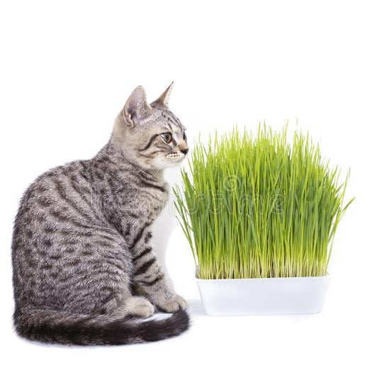 Organic Indoor Cat Grass