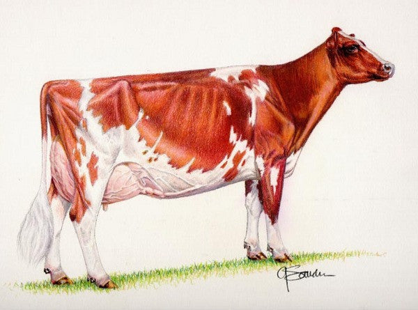 Ideal Ayrshire cow - Cow Art and More