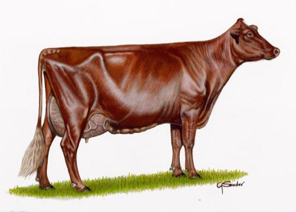Ideal Milking Shorthorn Cow - Cow Art and More