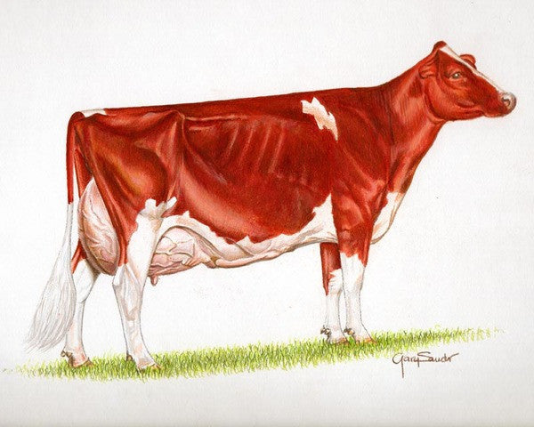 Ideal Red and White Holstein Cow - Cow Art and More