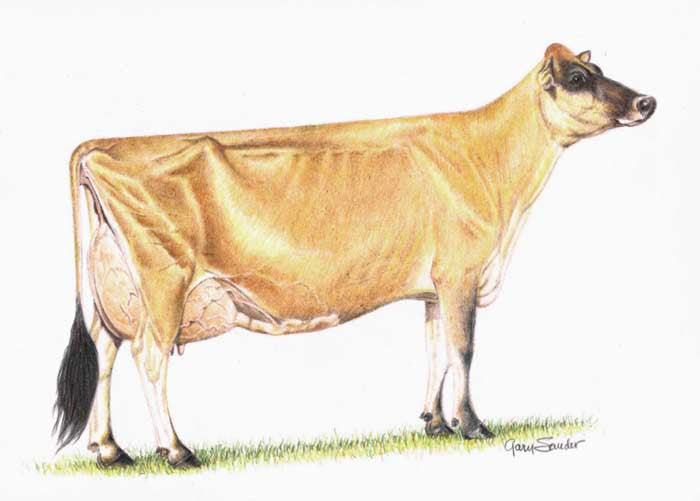 Ideal Jersey Cow - Cow Art and More