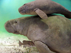 Why are the Manatees in Trouble?