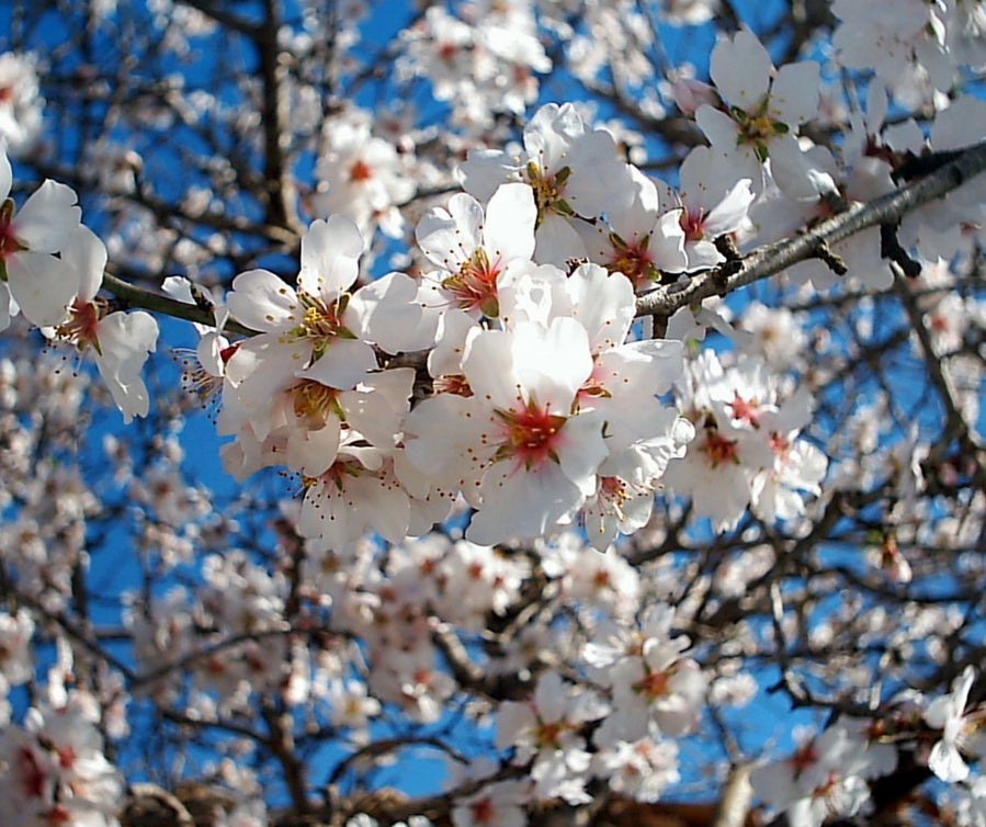 blossoming almonds 899 x 754