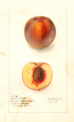 Peaches, Connecticut (1908)