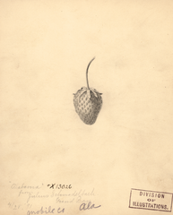 Strawberries, Alabama (1891)