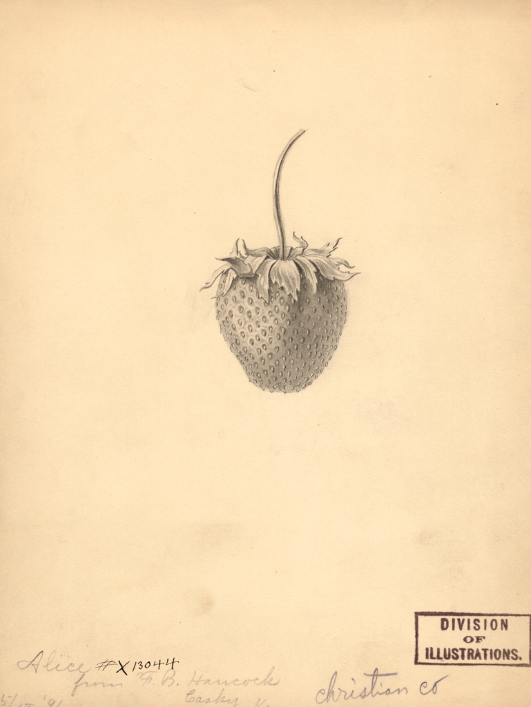 Strawberries, Alice (1891)