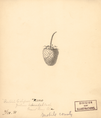 Strawberries, Bartons Eclipse (1891)