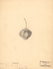 Strawberries, Cohanzick (1891)
