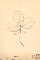 Strawberries, Improved Wilson (1891)