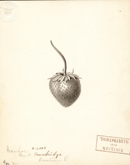 Strawberries, Ivanhoe (1891)