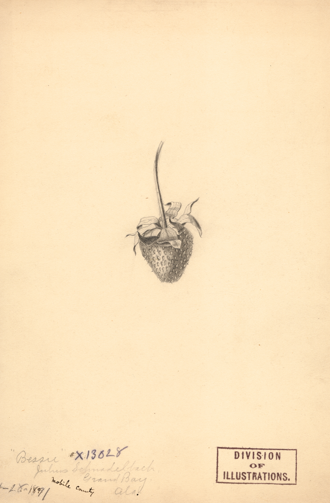 Strawberries, Bessie (1891)