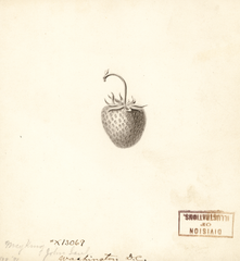 Strawberries, May King (1891)