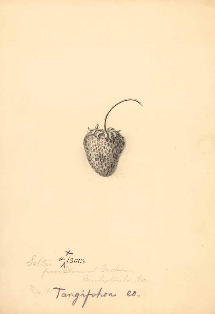 Strawberries, Salter (1891)