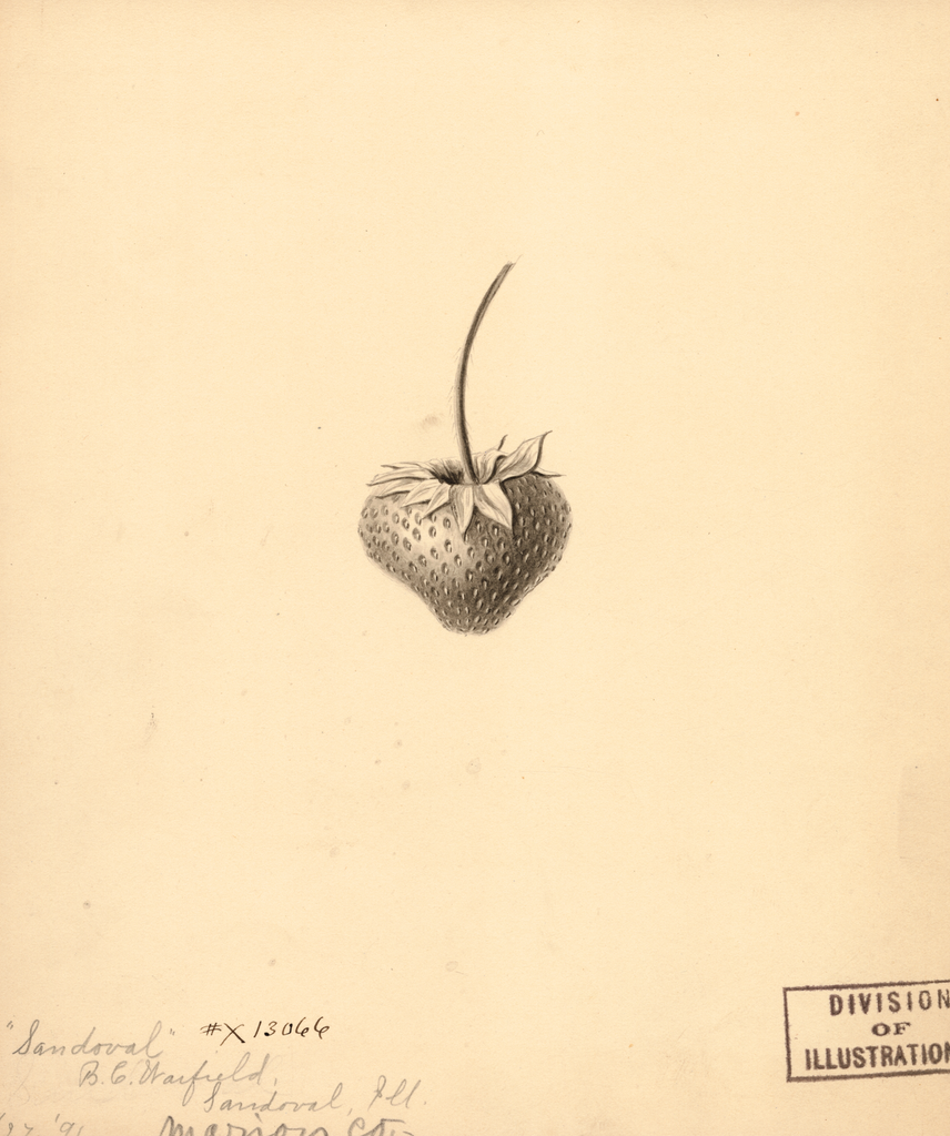 Strawberries, Sandoval (1891)