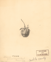 Strawberries, Stevens (1891)
