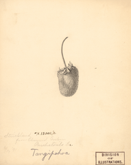 Strawberries, Strickland (1891)