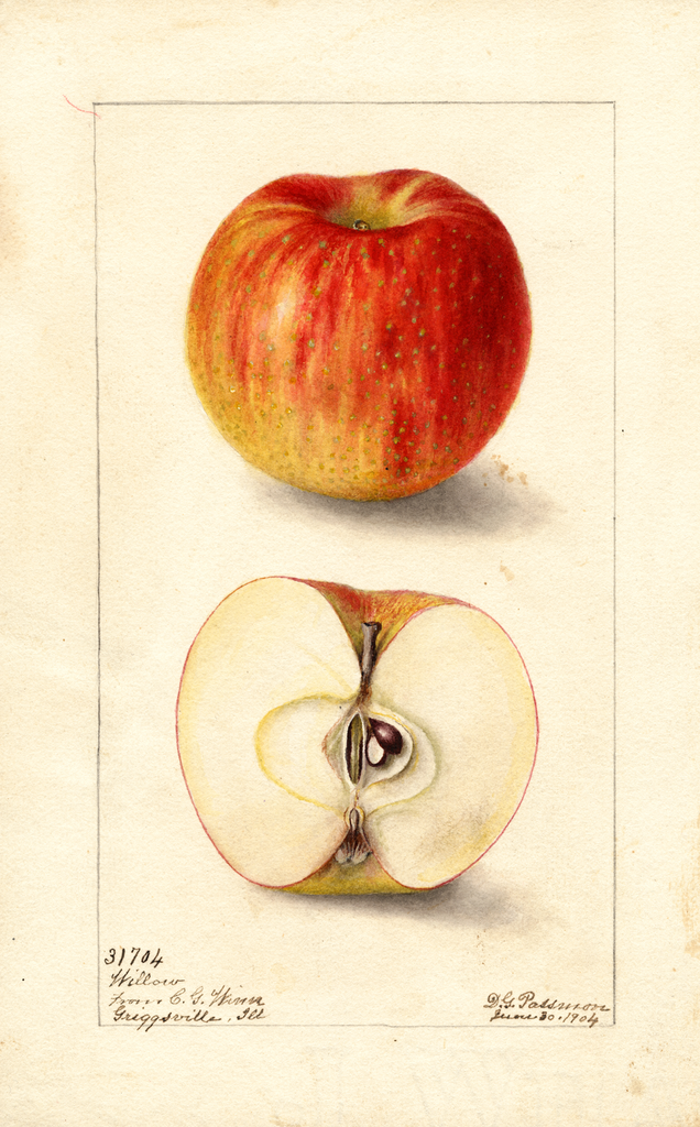 Apples, Willow (1904)