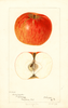 Apples, Willowmeade (1896)