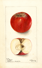 Apples, Windsor (1900)