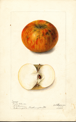 Apples, Winter Cheese (1900)