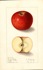 Apples, Winter Cheese (1907)