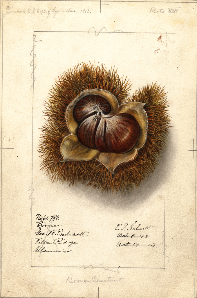 Chestnuts, Boone (1913)