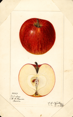 Apples, Yankee (1920)