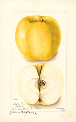 Apples, Yellow Bellflower (1904)