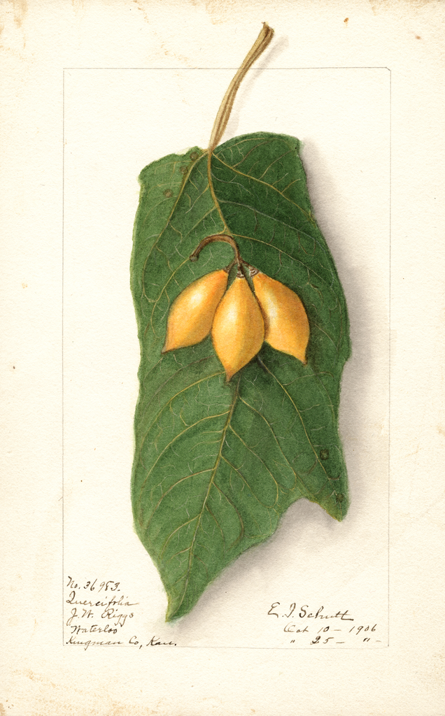 Oak Leaved Papaya (1906)