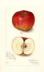 Apples, Dominie (1912)