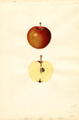 Apples, Doyle (1935)