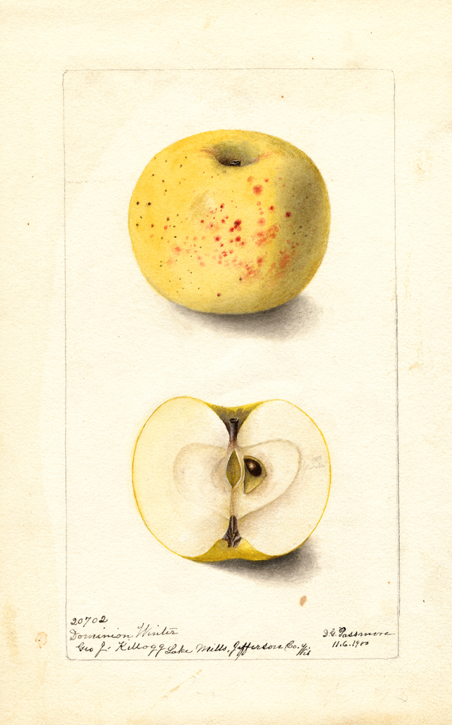 Apples, Dominion Winter (1900)