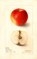 Apples, Donald (1905)