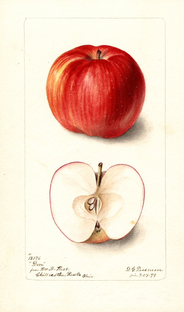Apples, Dove (1899)