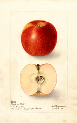 Apples, Doyle (1905)
