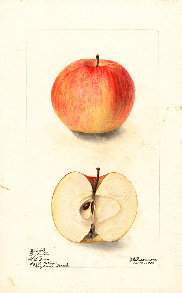 Apples, Doyleston (1900)