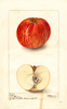 Apples, Doctor Briggs (1900)
