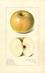 Apples, Doctor Matthews (1916)