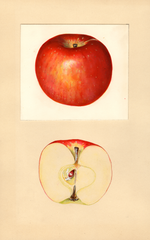 Apples, Doctor Matthews (1936)